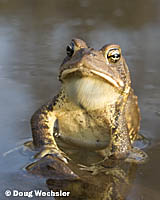 American Toad _A5E9804.jpg - 33110 Bytes