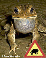 American Toad calling _A5E9834.jpg - 43327 Bytes