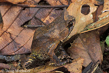 Asian Horned Toad a096-03.jpg - 56930 Bytes