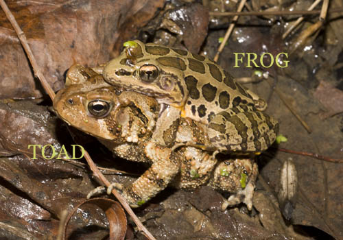 Pickerel Frog on American Toad _A5E3242.jpg - 82905 Bytes