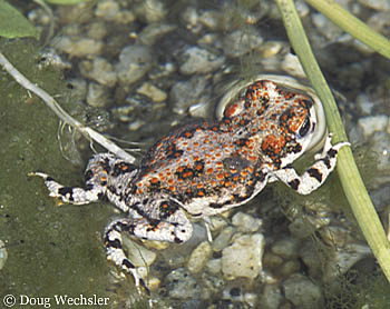 Red-spotted Toad m022-03.jpg - 58115 Bytes