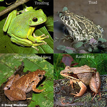 Barking Treefrog, Great Plains Toad, Bornean Narrow-mouthed Frog, Wood Frog